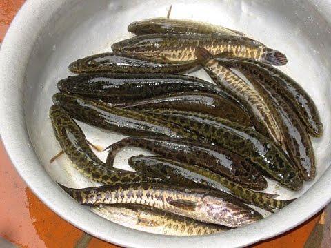 Cách sơ chế cá lóc