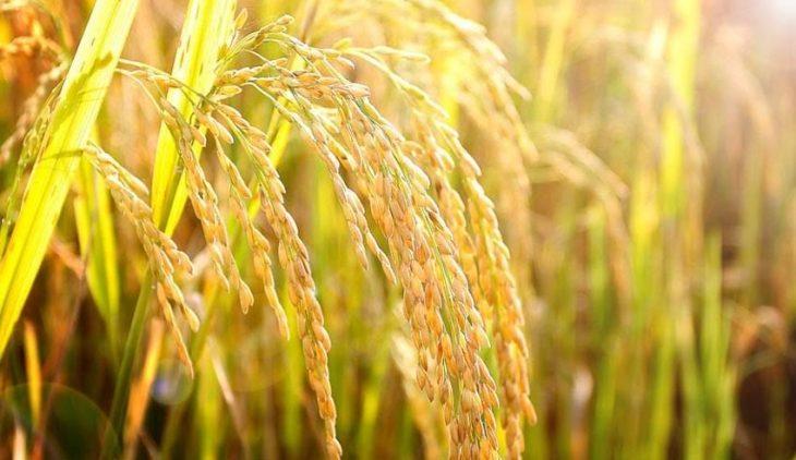 Những bài văn thuyết minh về cây lúa Việt Nam, văn lớp 9!