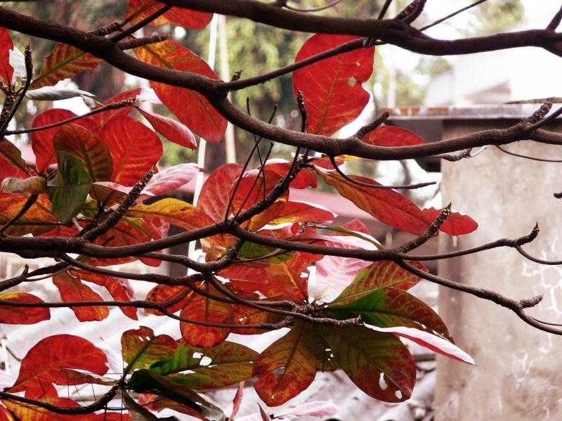 tả cây bàng - ảnh 1