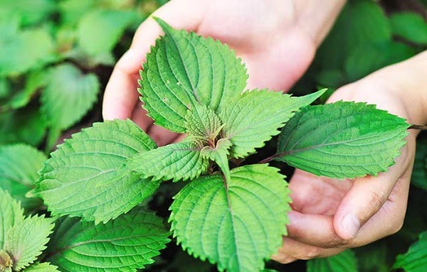Uống nước lá tía tô đều đặn có thể điều trị mụn cám hiệu quả từ sâu bên trong